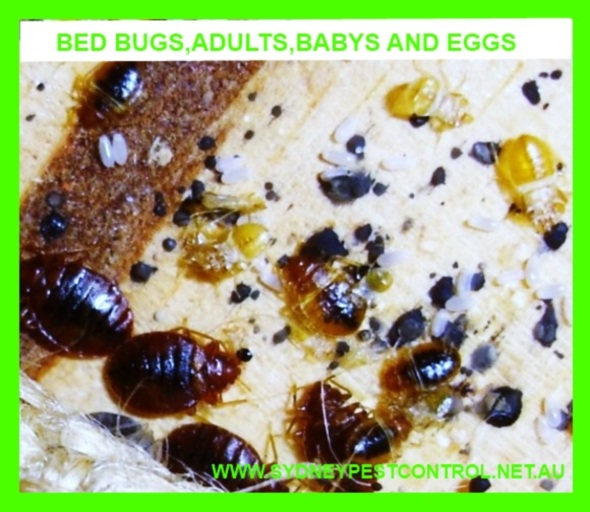 Bed bugs,eggs,babys and adults.
