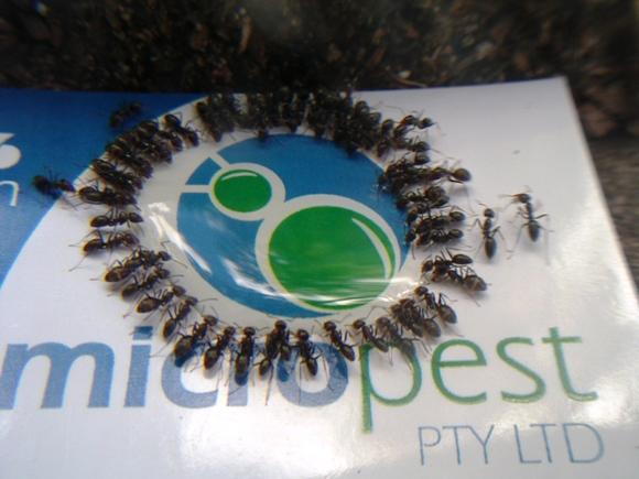 PEST CONTROL PYMBLE ANTS